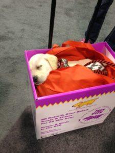 Sleeping yellow lab pup