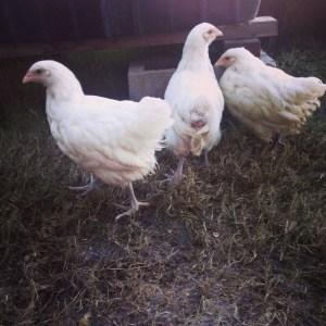 Sweet White Orpington girls