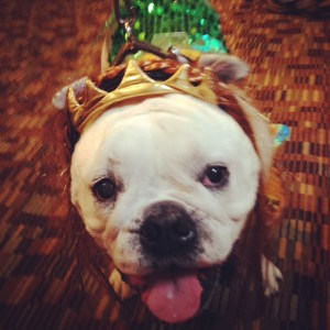 Pudgy the costumed Bulldog