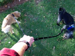 Two little dogs on one SnapLeash