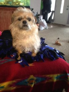 Brussels Griffon mix for adoption