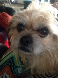 This Brussels Griffon mix is now part of our dog family!