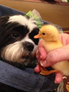 Kona and the Blog Paws duckling - National Dog Day