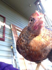 Sassy chicken