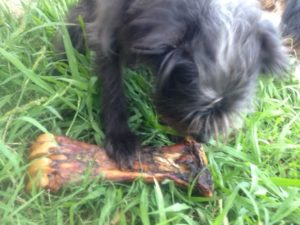 Gnawing on a Beef Shank Bone