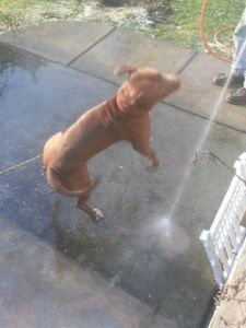 Pitbull playing with the hose