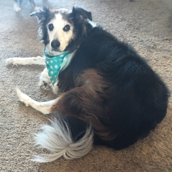 Patches, senior Aussie mix with joint mobility issues