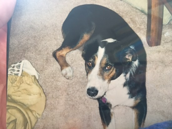 Clee-o, our first Australian Shepherd - dogs and critters