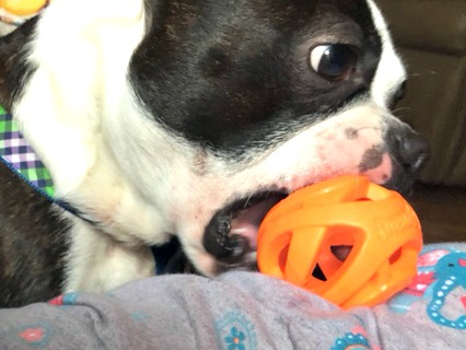 The Breathe Right ball from ChuckIt is perfect for a ball chasing dog
