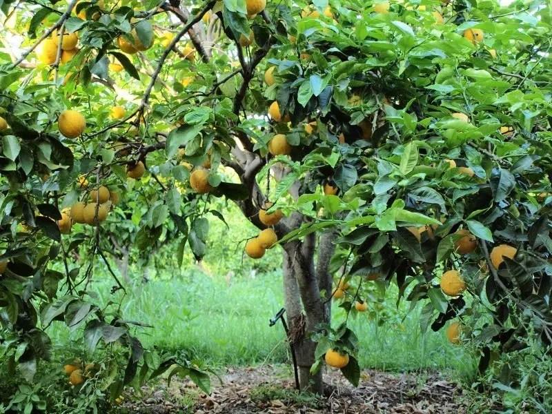 Albero di bergamotti della Calabria