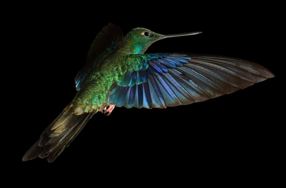 Hummingbirds Flying Jewels Of South America