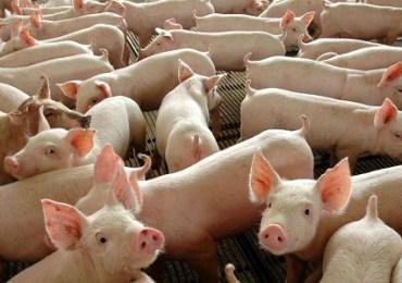 China detecta Covid-19 em porcos congelados importados do Brasil