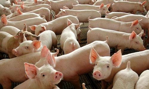 Ministério da Agricultura confirma peste suína clássica no Piauí