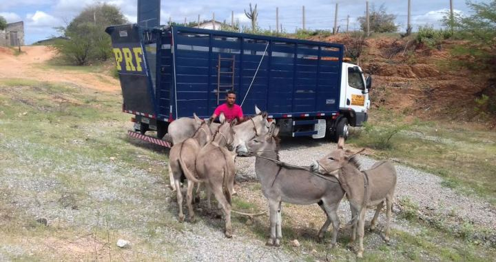 PRF intensifica o trabalho de recolhimento de animais soltos nas rodovias