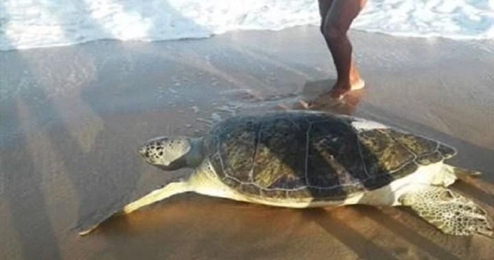 Sete tartarugas marinhas ficam presas em rede e morrem em praia de João Pessoa