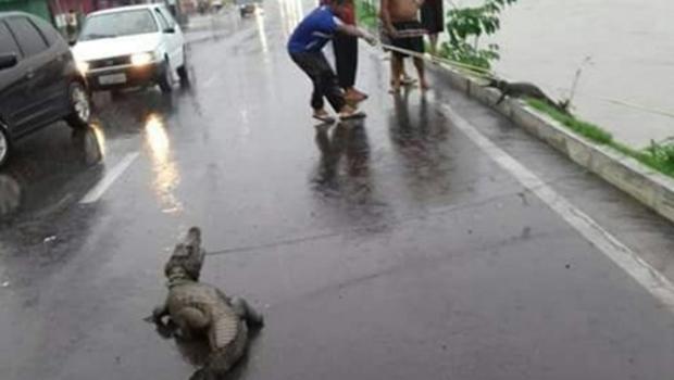 Após chuva, jacarés aparecem em avenida de Manaus