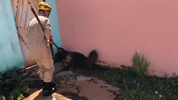 Bombeiros resgatam tamanduá-bandeira em beco sem saída