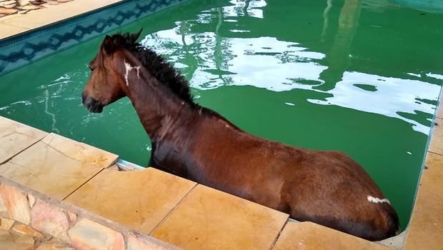 Bombeiros resgatam cavalo que caiu dentro de piscina