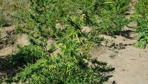 Polícia Militar encontra plantação com nove mil pés de maconha em Niquelândia