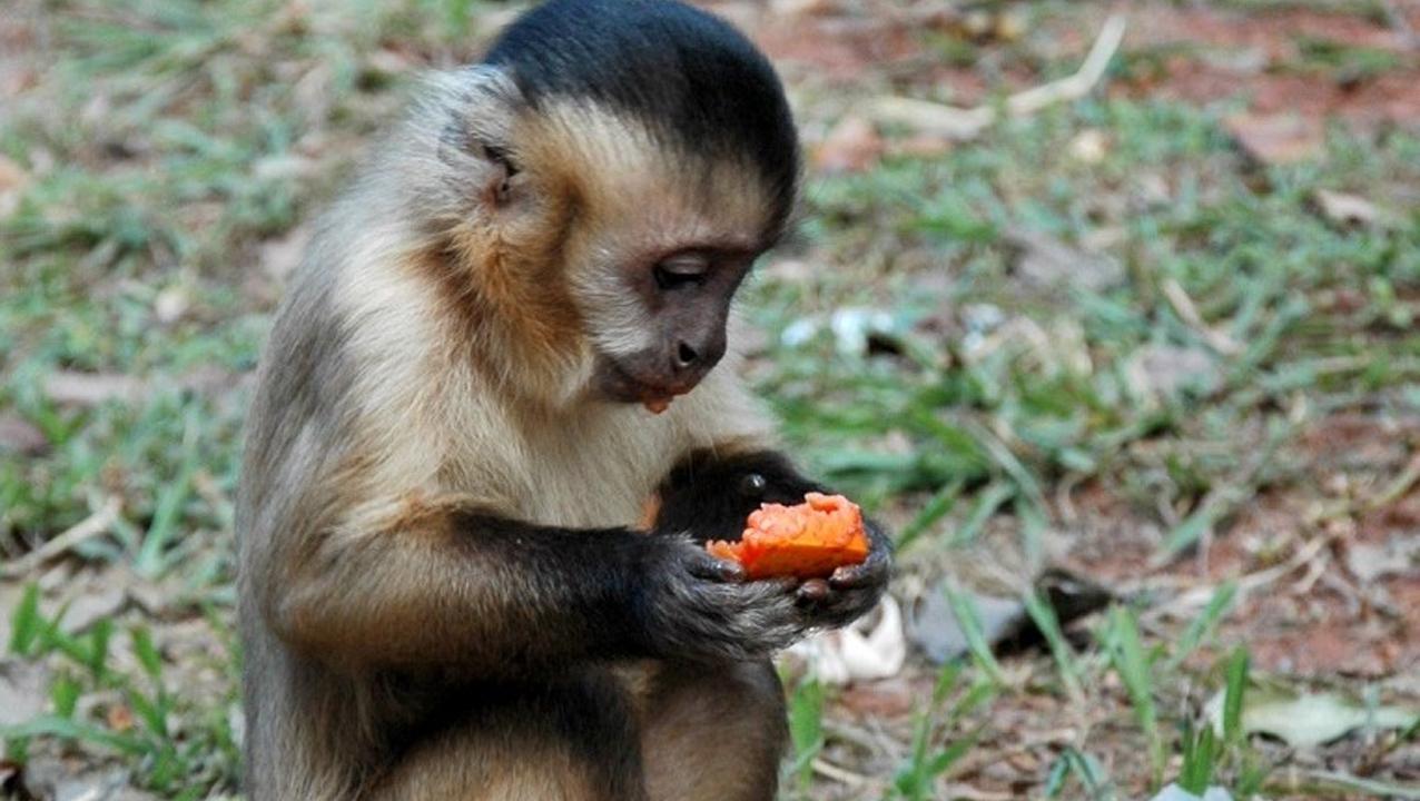 Amma reforça alimentação de macacos-prego do Parque Areião