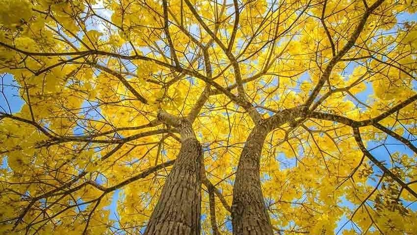 Caraíba, nome indígena do Ipê, árvore-símbolo de Goiânia