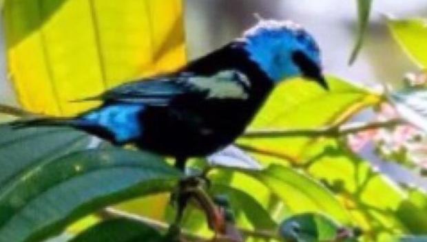 Em Goiás, ave rara é redescoberta após quase 100 anos 'extinta'