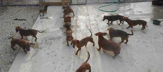 dacshhounds