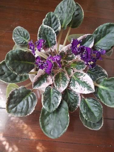 violets-6