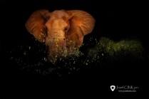Slon africký (Loxodonta africana) - Keňa, Národní park Tsavo