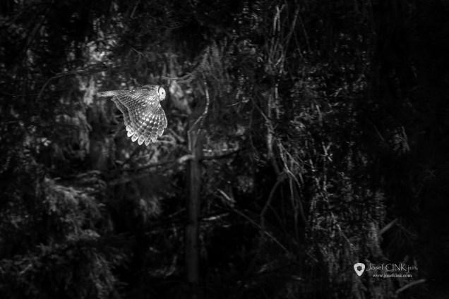 Puštík obecný (Strix aluco)