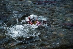 salmon splashing