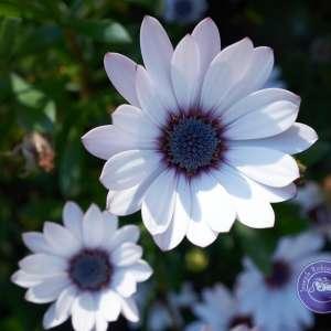 Flower Petals in bloom purple heart daisy
