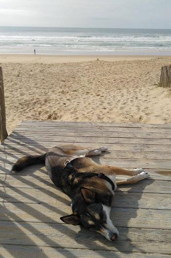 Chien Husky relax sur la plage...