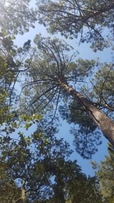 la forêt de pins des landes en avril 2020 pendant le confinement.