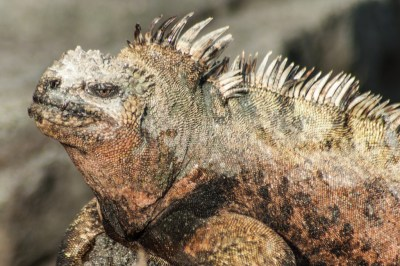 Galapagos - Land Iguana.