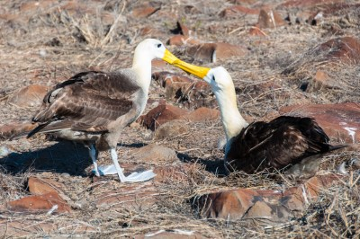 Waved Albatros.