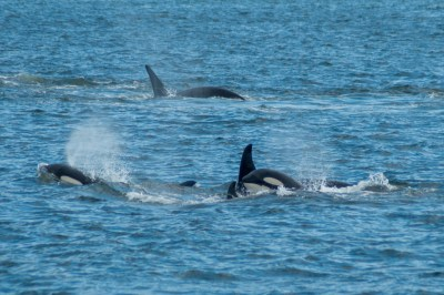 Orcas in the waters of Alaska's Inside Passage.