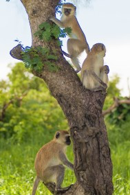 A family of vervet monkeys at play.