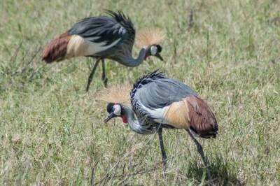 Crown cranes.