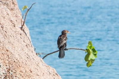 Mumbo Island Cormorant
