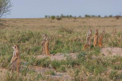Meerkats salute.