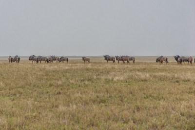 Wildebeest Migration (1)