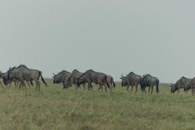 Wildebeest Migration (2)
