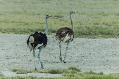 Botswana - Kalahari Ostriches,=.