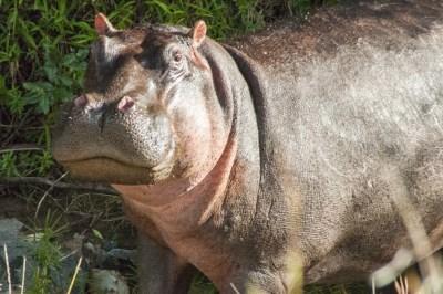 Mara Hippo