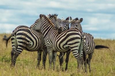 Grevey Zebras
