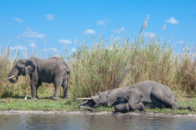 Malawi - Shire Sleeping Elephant