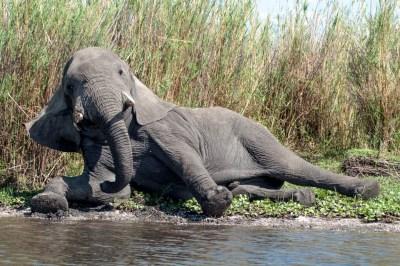 Malawi - Liwonde Bull Elepant
