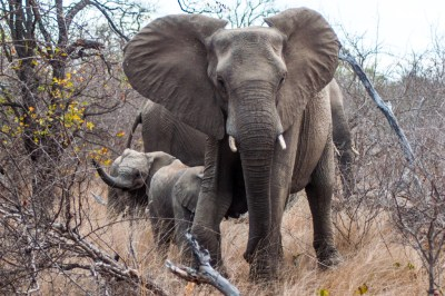 South Africa - Motswari elephant and calves