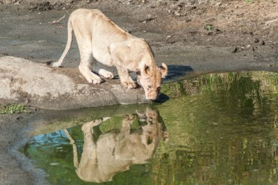 South Africa - Motswari, lioness at the water hole